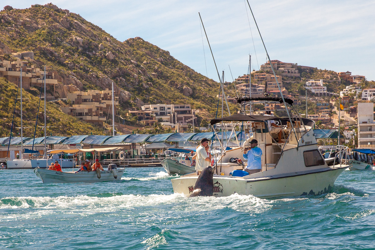 Sea lion hitches a ride on fishing boat Cabo San Lucas (Image: Paola Thomas / Seattle Refined)