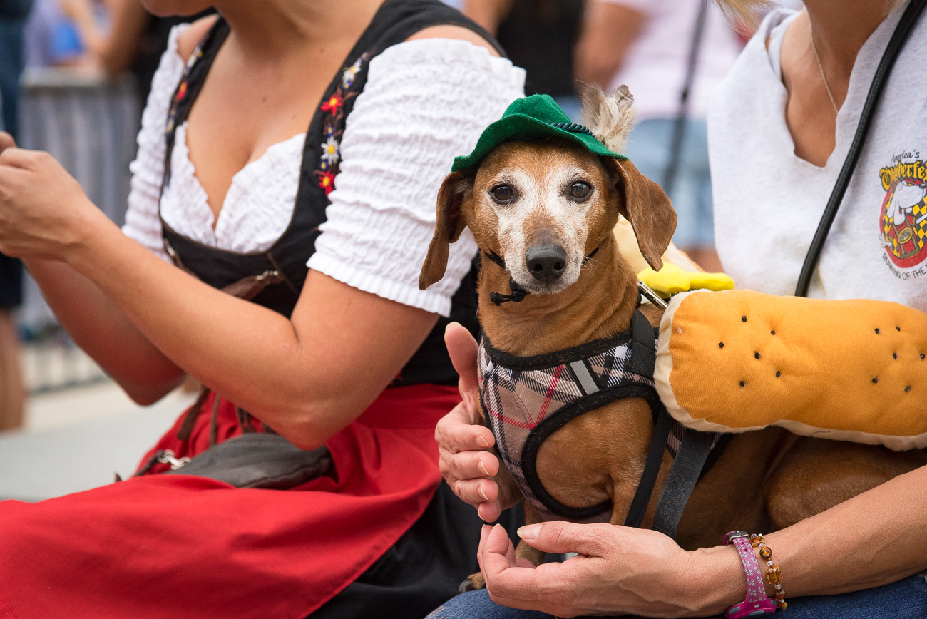 Dachshunds raced in 10 heats (plus one final heat) to see who's the swiftest weenie in the city as hundreds cheered them on from the sidelines. / Image: Phil Armstrong, Cincinnati Refined // Published: 9.21.18<br>