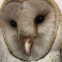 Barn owl injured during high Texas Panhandle winds rehabilitated, released