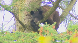 WATCH LIVE: Bear stuck high atop tree near elementary school in Renton