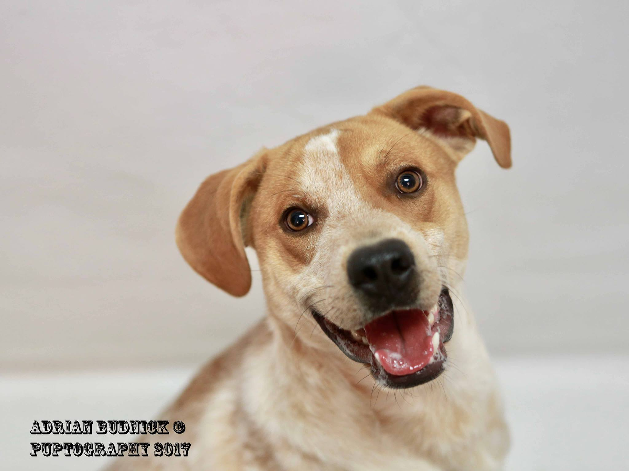 Woody A153375 is a 3 year old lab. He is available at Metro Nashville Animal Care and Control