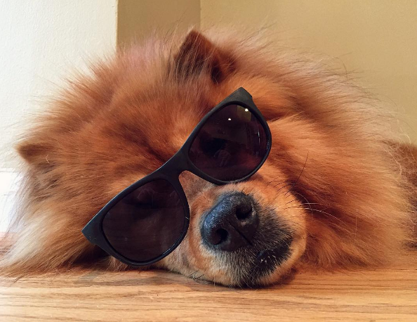 IMAGE: IG user @izzy_the_chow/ POST: Throwin' shade. #throwingshade #sunglassesdog #dogsinsunglasses #chowchowgallery #chowstagram