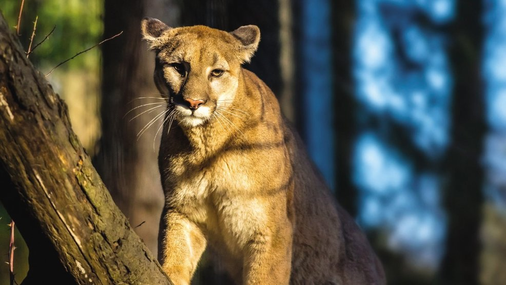 houndsmen to hunt kill hiker killing cougar mail tribune