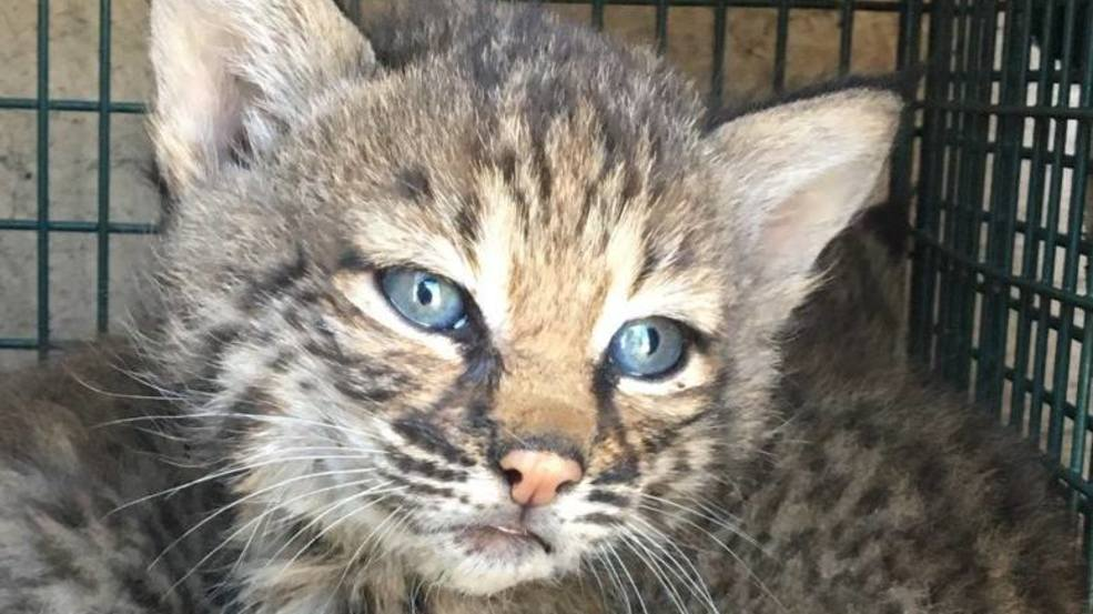 Criminal Charges Possible For Family That Mistook Bobcats
