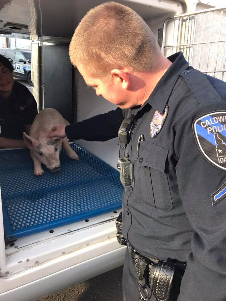 Caldwell Police helped wrangle three lose pigs near the Laster Lane / War Eagle are in Caldwell. The little pigs were later taken to the West Valley Humane Society. (Caldwell Police).<p></p>