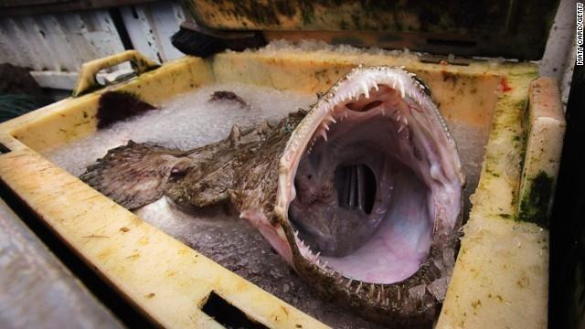 The Monkfish is found in the Atlantic Ocean and grows to an average length of 3-5 feet.