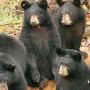 TWRA: Black bear cubs seen alone might not be orphaned