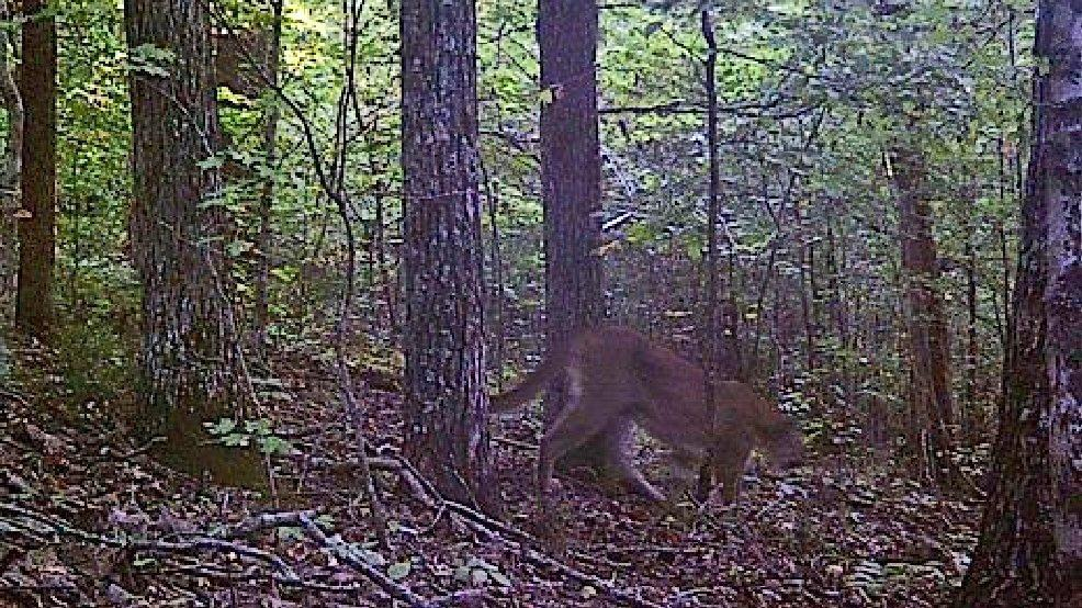 The Tennessee Wildlife Resources Agency confirmed this cougar sighting in Wayne County in early September 2016 on property located between Linden and the county seat of Waynesboro. However since this photo was taken - more than a year ago - TWRA has received no more reports or photos of cougars in Tennessee that can be officially confirmed. (Image: TWRA)