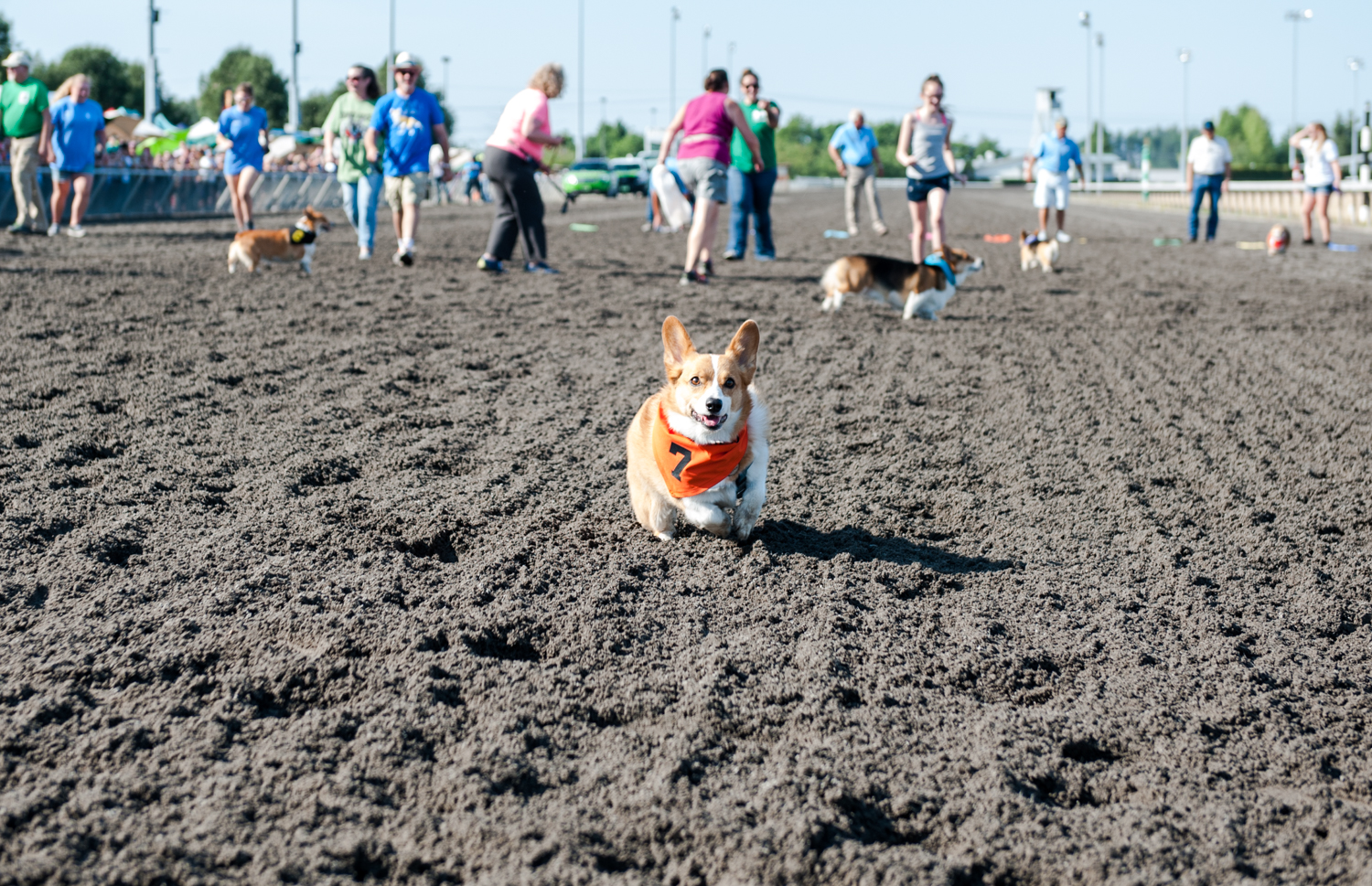 For the second year in a row, corgis took to the tracks at Emerald Downs to compete in the annual Corgi Races! On a track built for horses, watching these little dogs and their tiny legs racing is one of the more hilarious and amazing things we see all year. (Image: Elizabeth Crook / Seattle Refined){ }