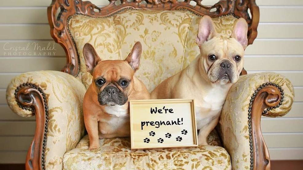 Puppy love: This French bulldog maternity photo shoot will make your day
