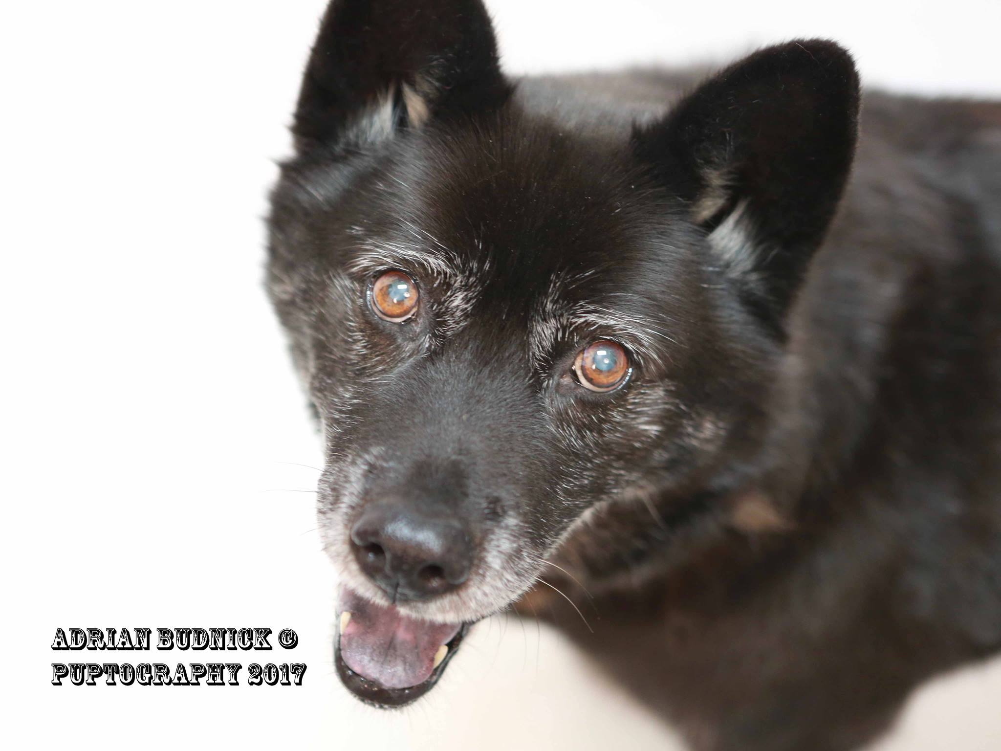 Jules A176523 is a 13 year old chow chow. She is available at Metro Nashville Animal Care and Control