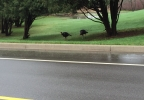 Turkeys in Grand Chute.jpg