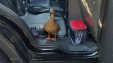 A Mother's Day to remember: Police rescue baby ducklings from storm drain