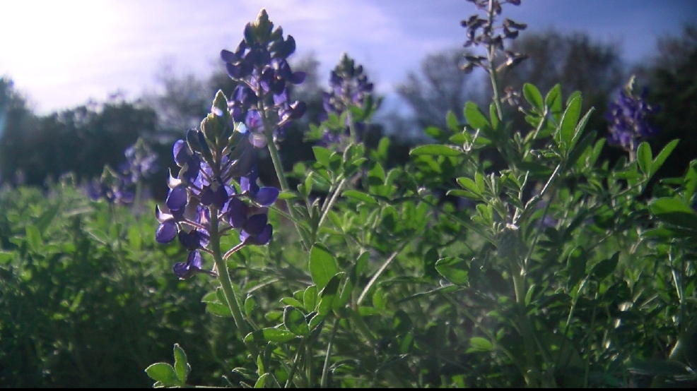 GALLERY | Central Texas bluebonnets