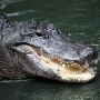 10-year-old girl pokes alligator's nose, survives attack