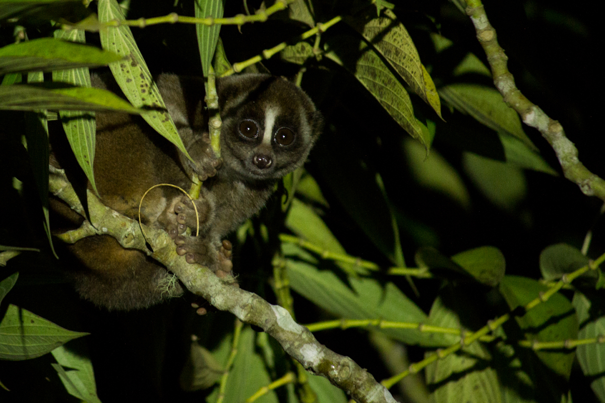 A Sunda slow loris (Nycticebus coucang), seen during a night drive within the National Park. Slow lorises, the only venomous primate and a rare nocturnal one, are greatly threatened by the illegal pet trade, with their teeth cruelly pulled out to prevent their dangerous bite. The Little Fireface Project is a wonderful organization working to ensure their continued survival. www.nocturama.org. -- Wild Sumatra, an ecotourism company located on the Indonesian island of Sumatra, specializes in adventures within the massive Kerinci Seblat National Park. [Image courtesy of Wild Sumatra]
