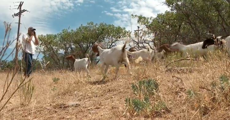Some homeowners near the Capitol are using hundreds of goats to help built a fire line behind their home, and these four legged animals are wasting no time eating away the grass and brush. (Photo: KUTV)