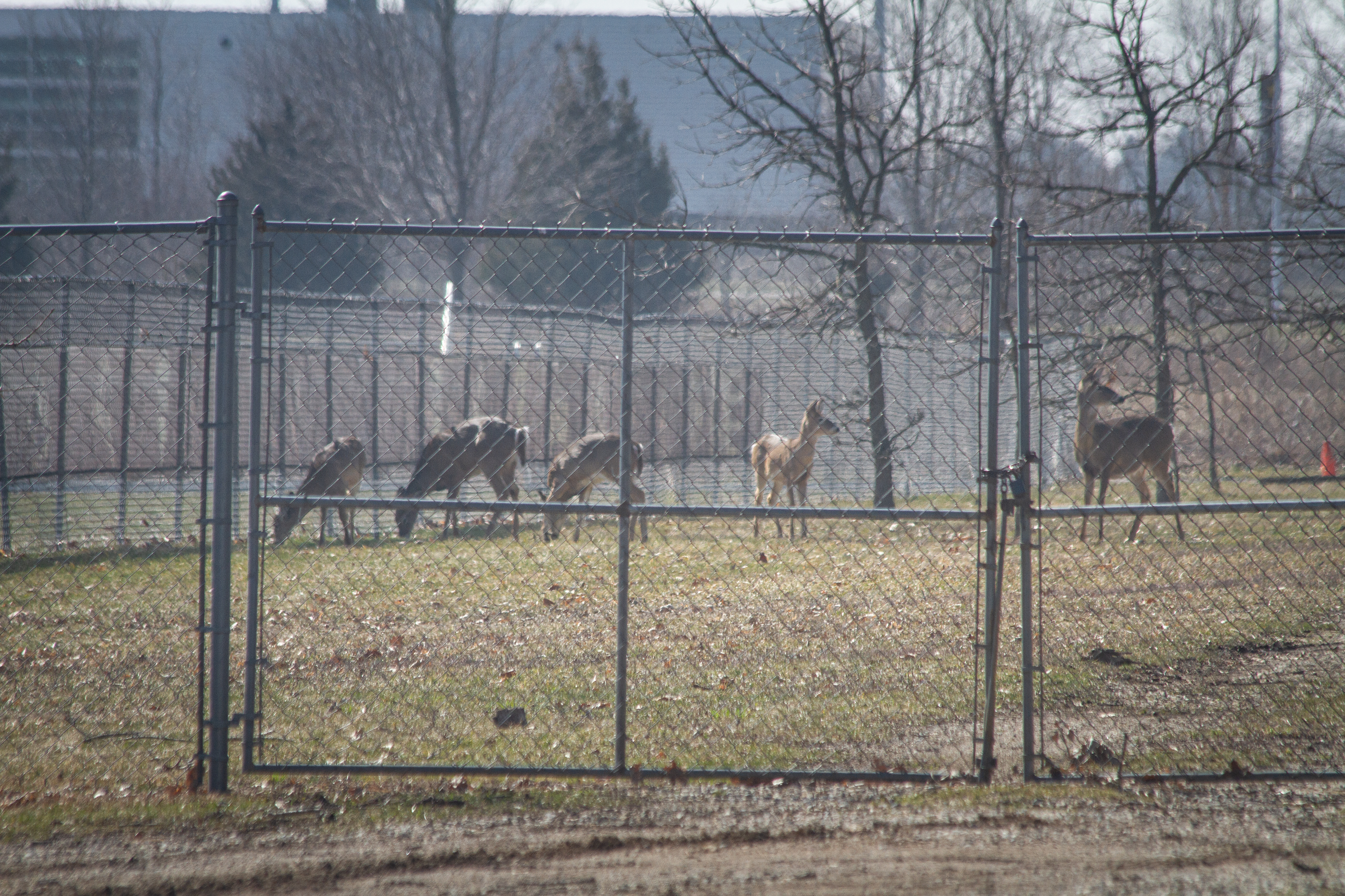Deer graze on the grounds by Parkview Avenue in Kalamazoo on Wednesday, March 25.{ }(WWMT/Sarah White)