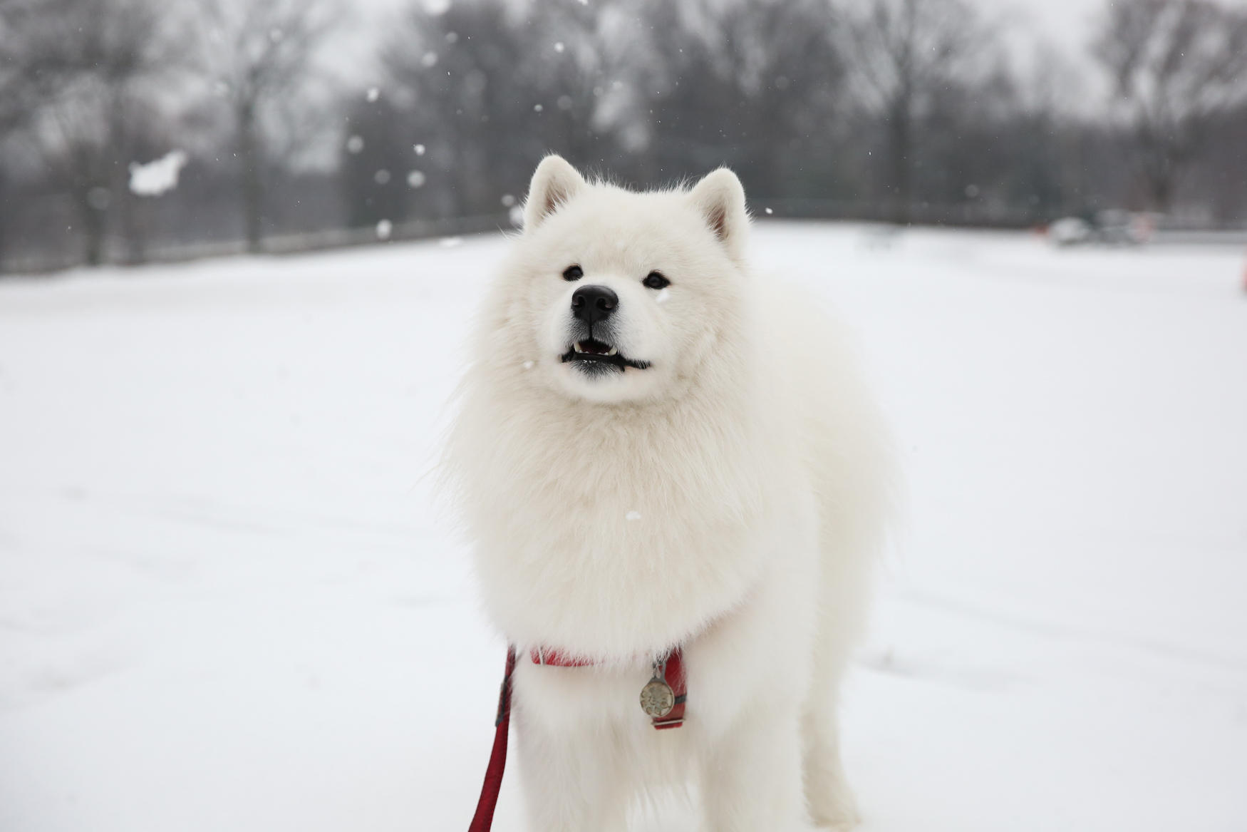 "Meet Sebastian, a 19-month-old Samoyed. Sebastian came home to his family when he was only 8 weeks old, on July 4, 2017. He is a descendant of a ""TV famous"" Samoyed, as his dad, Crush, was featured on Animal Planet's show ""Too Cute.""{ } Sebastian is super social and loves weekends, because that means hikes and car rides -- he likes the wind in his fur! And we can't forget about back scratchies! He's not a fan of being alone, and he is also a stealth sock ninja, and will attempt to walk to the hamper undetected to steal his prize, and then scale the couch to avoid capture. You can keep up with all of Sebastian's adventures on his Instagram @sabi.chan_ . If you're interested in having your pup featured, drop us a line at aandrade@dcrefined.com (Image: Amanda Andrade-Rhoades/DC Refined)"