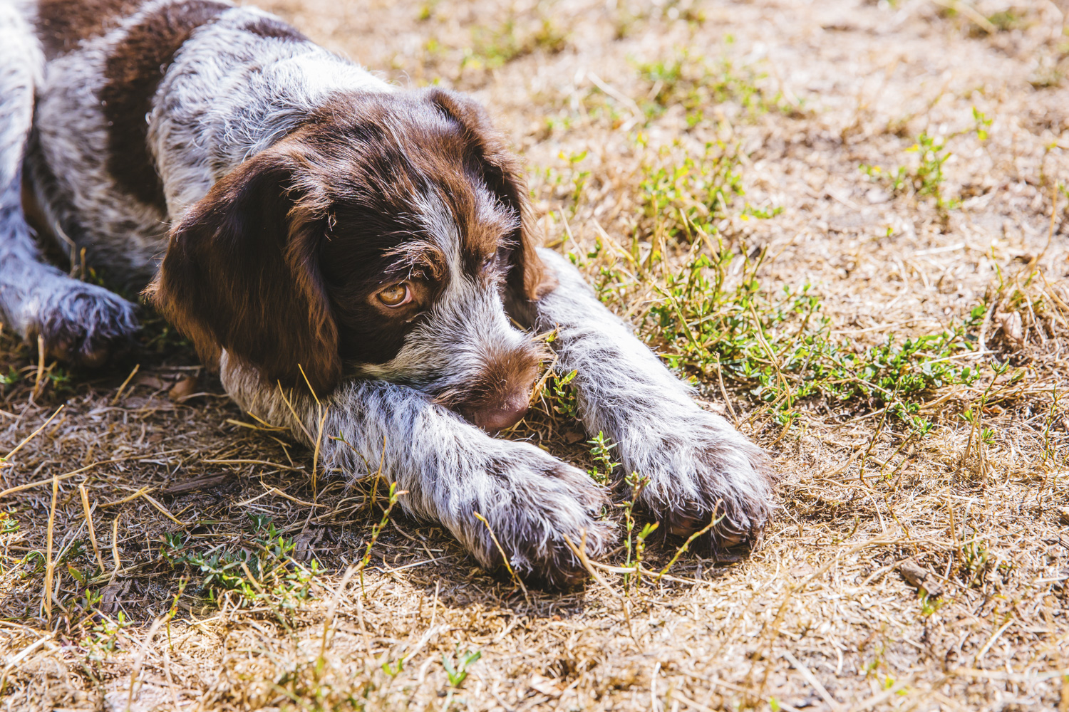I think I just found my future breed of pup to get. ANYWAYS! Meet this sweet boy, Louie Clyde. He is a 5-month-old German Wirehaired Pointer and makes our hearts swell. Louie Clyde is a busy guy and will get fairly tall and active. His mom is a runner and the whole fam is also active so they are expected to have a lot of fun adventures together! Louie likes playing with other pups, his family, his stuffed bunny, a good tennis ball, walks to the lake, love and attention, and snuggling up on furniture after a hard day of playing. He dislikes car rides, boredom, and vacuums. (Image: Sunita Martini / Seattle Refined)
