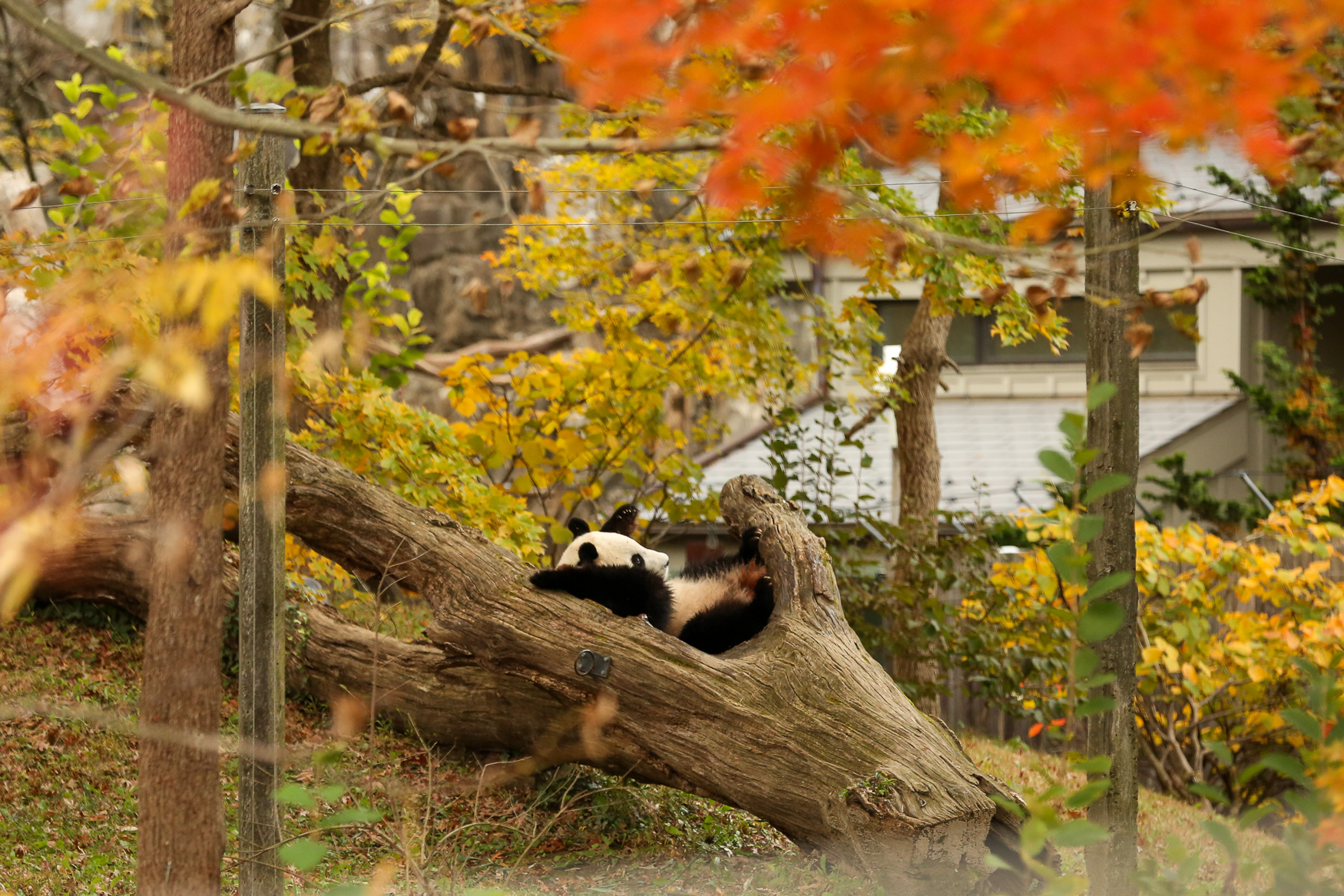 As the autumn leaves thrust Rock Creek Park into a bloom of color, the animals of the Smithsonian National Zoo seem to be enjoying the shifting weather. The crowds are way less intense than they were all summer and animals are less prone to hiding in the shade to avoid the heat, meaning now is the best time to catch the zoo's residents frolicking in the falling leaves. (Amanda Andrade-Rhoades/DC Rhoades)