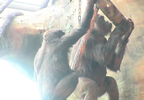temp New Gorilla Exhibit 1_frame_89852.png
