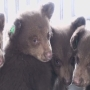 Orphaned bear cubs released into wild by Nevada Department of Wildlife