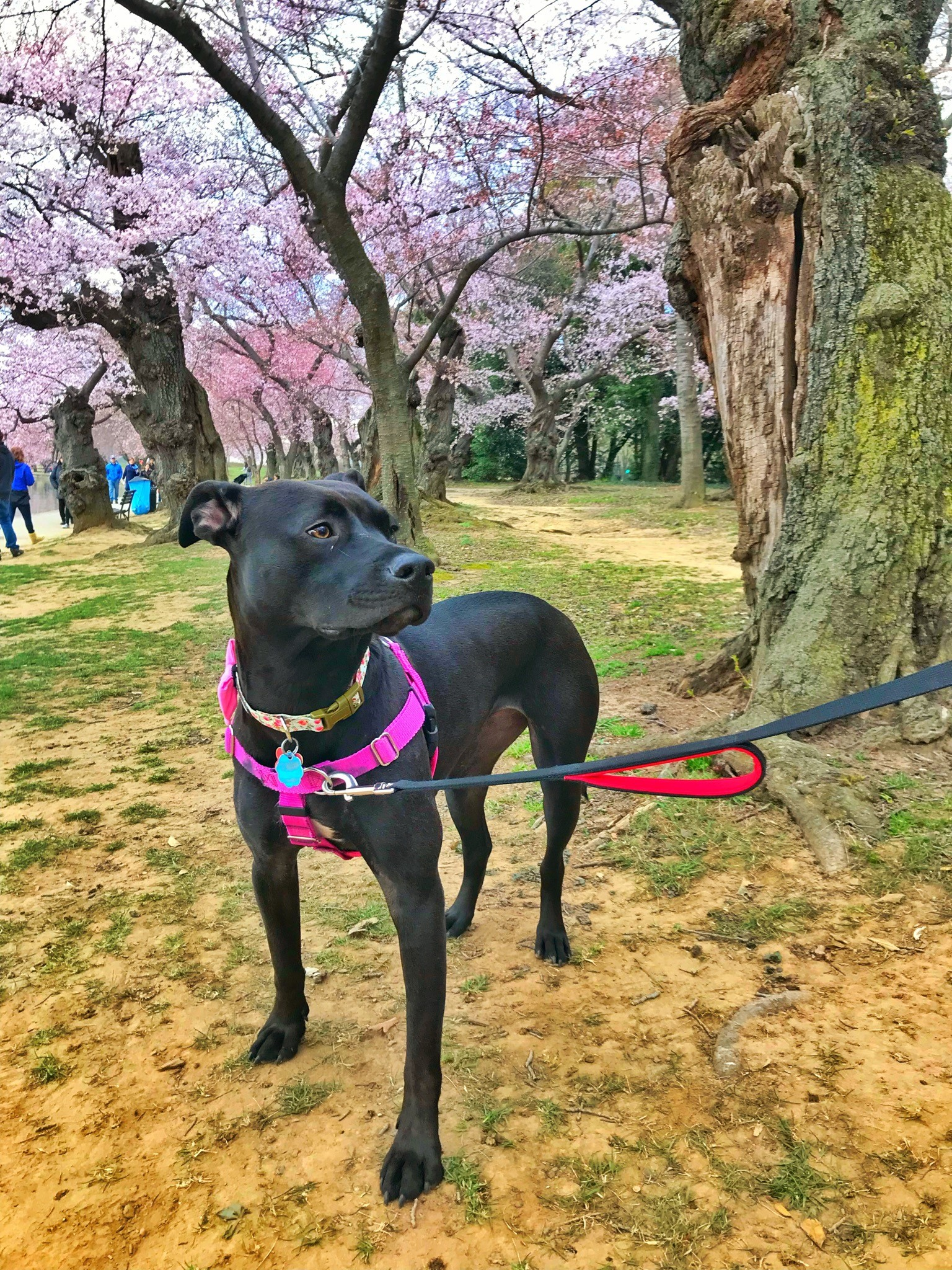 In honor of National Pet Day (which is basically like Christmas around here!) we checked in on a few of our favorite Instagram stars to see what they've been up to lately, and we noticed many of them had paid a visit to D.C.'s beloved blossoms. So for this week's special RUFFined Spotlight, we give you some adorable four-legged admirers of the cherry blossoms! (Image: via IG user @acadianationalbark /{ }instagram.com/acadianationalbark/){ }