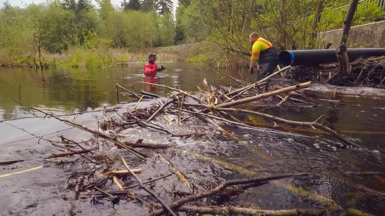 In an attempt to solve a perpetual flooding issue that causes traffic delays, the City of Mill Creek has commissioned Beavers Northwest to build a 'beaver deceiver.' The device has no formal name but its idea is to  let beavers co-exist with humans and end the flooding issue. (Photo: KOMO News)