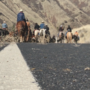 Cattle drive along state highway is a Central Wash. tradition