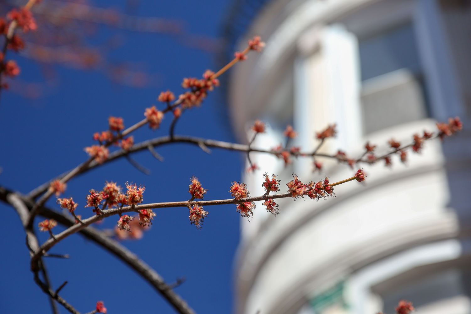 Other trees are starting to bloom too!  (Amanda Andrade-Rhoades/DC Refined)