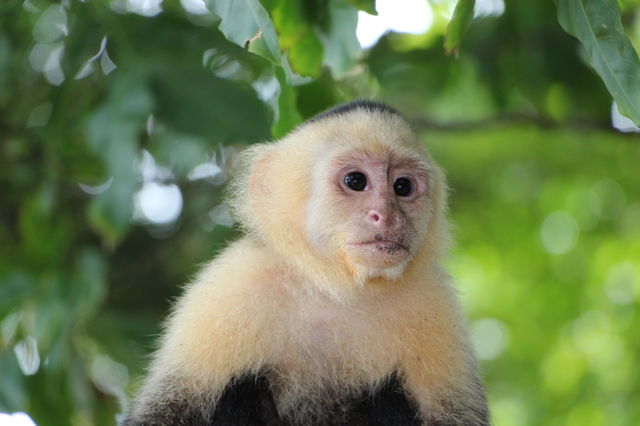 FILE: Image shows a capuchin{&amp;nbsp;}monkey. Rapper Chris Brown owned a capuchin{&amp;nbsp;}monkey until it was seized by California agents. (Photo: Open Source/CC0 license)<p></p>
