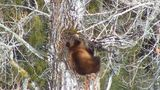 Watch: Glacier National Park's 'bear cam' gives viewers a glimpse into the wild