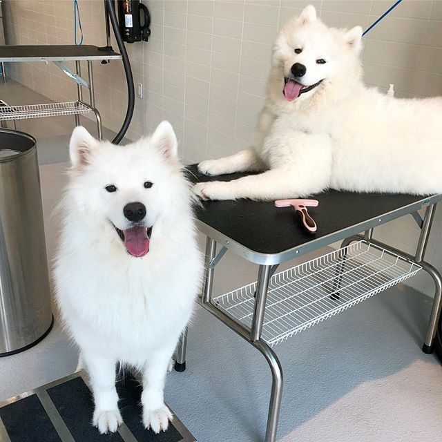 3. Juno. (20,400 followers): Can you believe it?! Another Samoyed on this list. Perpetually smiling, Juno is a total ray of positive light. There's no easier way to brighten your day than to add this dog's precious face to your feed. Monday blahs be gone! (Image: @juno.bear / instagram.com/juno.bear)