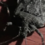 Stink bugs invading west Michigan homes