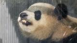 Berlin gives celebrity welcome to 2 giant pandas from China