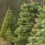 Washington among Top 10 states for most expensive Christmas trees: study