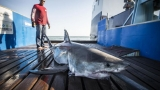OCEARCH: 2 great whites, 1 tiger shark tracked near Grand Strand, SC