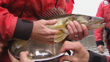 WV Wildlife:  Native Walleye Spawning