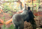 temp New Gorilla Exhibit 1_frame_126323.png