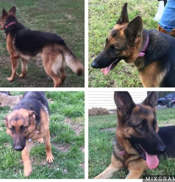 "<p>NAME: ATHENA</p><p>BREED: GERMAN SHEPHERD</p><p>MISSING SINCE: JANUARY 27, 2017</p><p>WENT MISSING FROM: EDGAR SPRINGS</p><p>""Then one day she was just gone when I got home. My other dog was still there, but he is a different breed."" -Rilla Melton, Owner</p><p></p>"