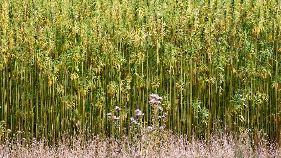 growing hemp vs cannabis