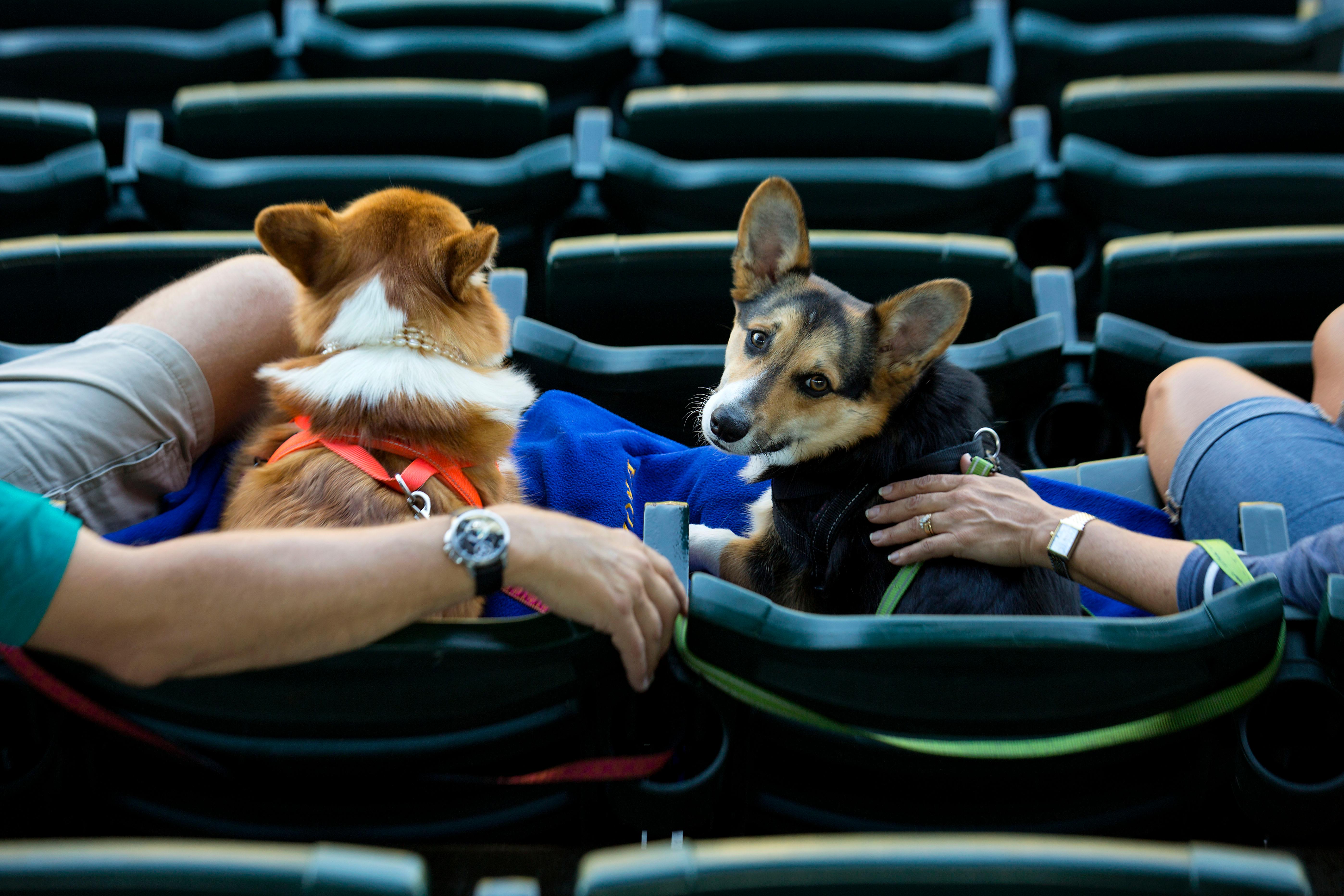 It was another night for Bark at the Park! Mariners fans were allowed to bring their dogs to the game to enjoy the sun, some Mariners baseball, and man's best friend. The next Bark at the Park game will be September 5, against the Houston Astros. (Sy Bean / Seattle Refined)