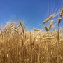 Wheat producers face infestation issues as temperatures soar