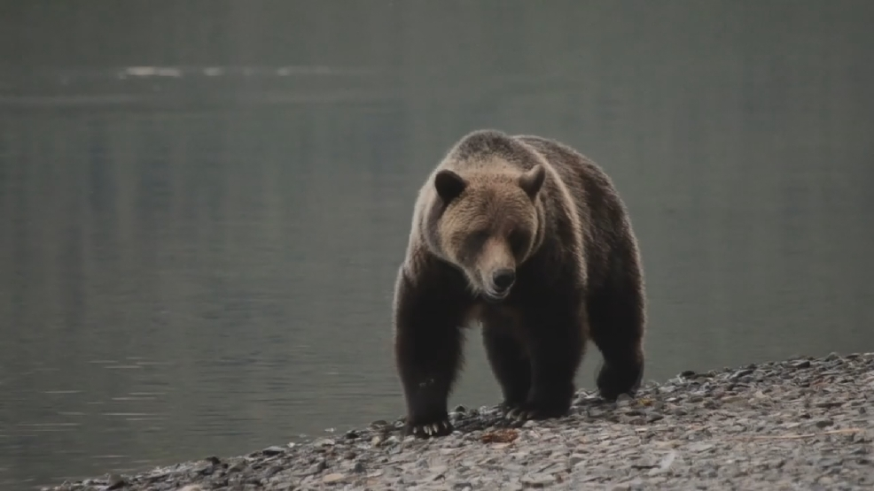 grizzly bear reintroduction to the cascades Welcome to the endangered species homepage for the region 6 ecological services program.