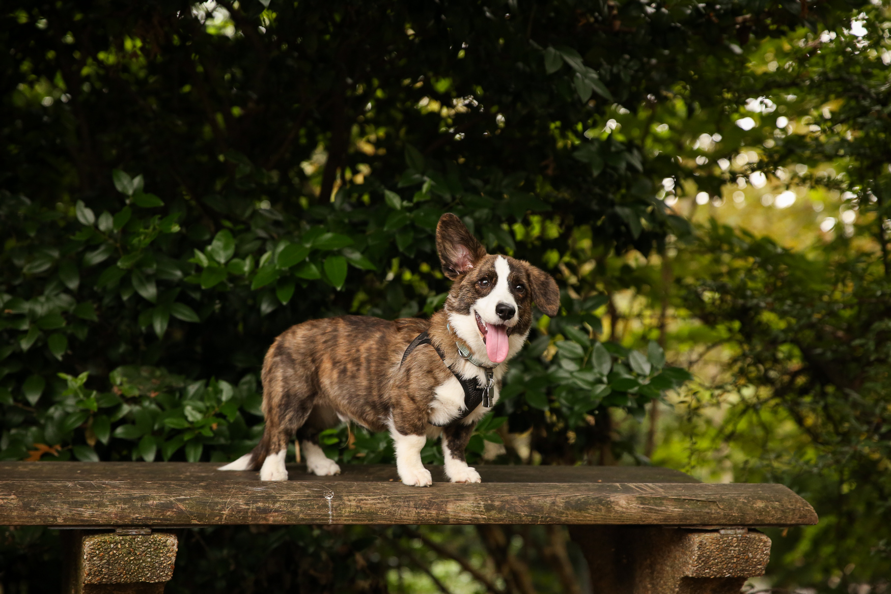 "Meet Wally, a 5.5-month-old Cardigan Corgi. Wally loves{ }cottage cheese and convincing big dogs to chase him around the dog park, but he absolutely hates brooms and mops. He's still learning all the tricks of being a dog, but he did recently master ""paw"" and is very pleased with himself. Wally's family knew he was going to fit right in the moment they got him home. He had been very nervous on the drive home but as soon as he got inside his new house, he immediately pulled a blanket off the couch and made himself at home! The blanket is officially his now :) You can follow Wally's adventures on his IG account: @wallyinacardigan. If you're interested in having your pup featured, drop us a line at aandrade@dcrefined.com (Amanda Andrade-Rhoades/DC Refined)"