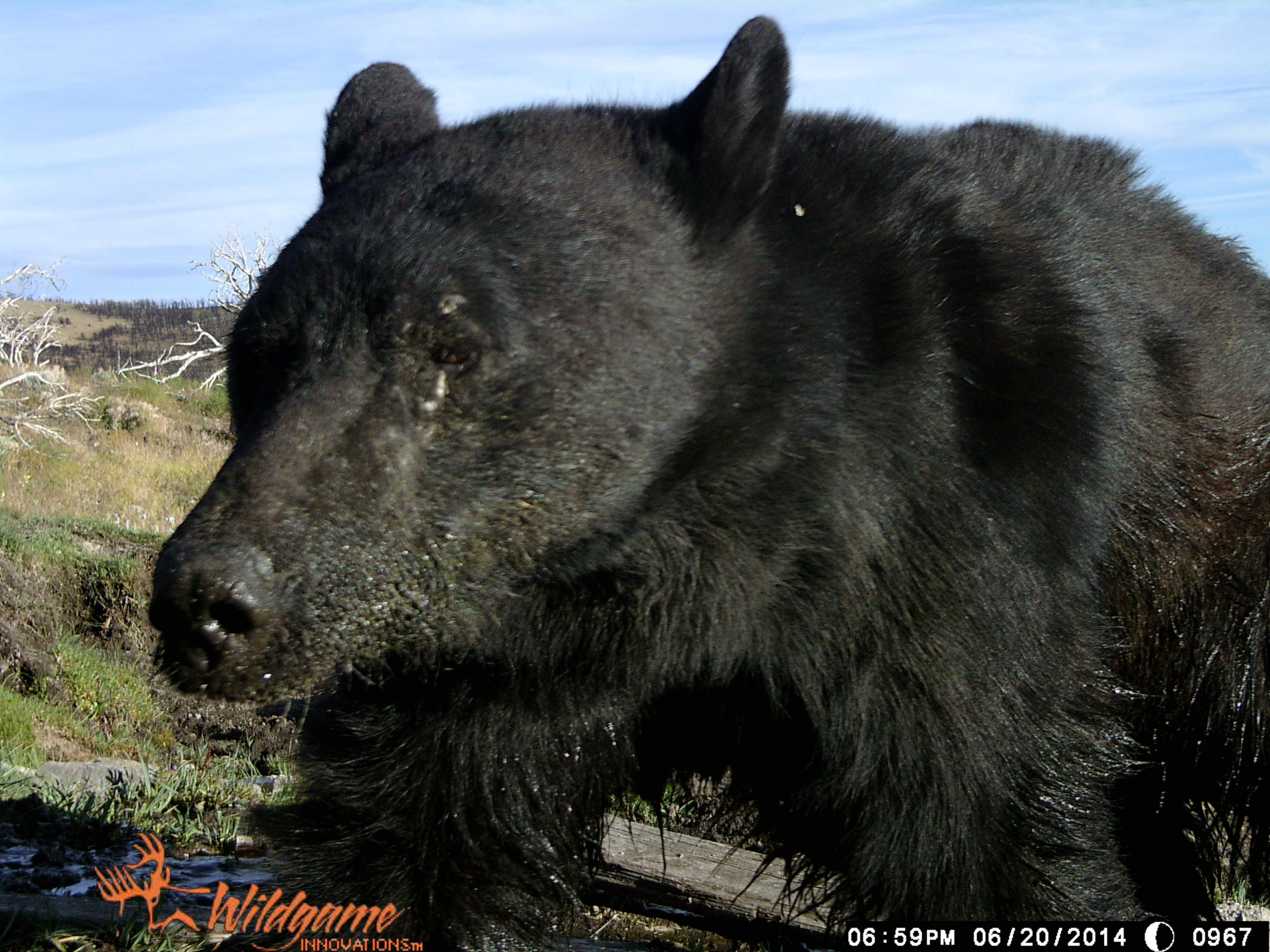 A trail camera captures a bear on June 20, 2014 (Photo courtesy NDOW)