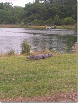 Emergency officials in Pinehurst called on Gary Saurage on Tuesday morning to capture an alligator found in the retention pond at the city's water and sewer plant. The gator was discovered by city administrator Robbie Hood, Pinehurst officials said in a news release.