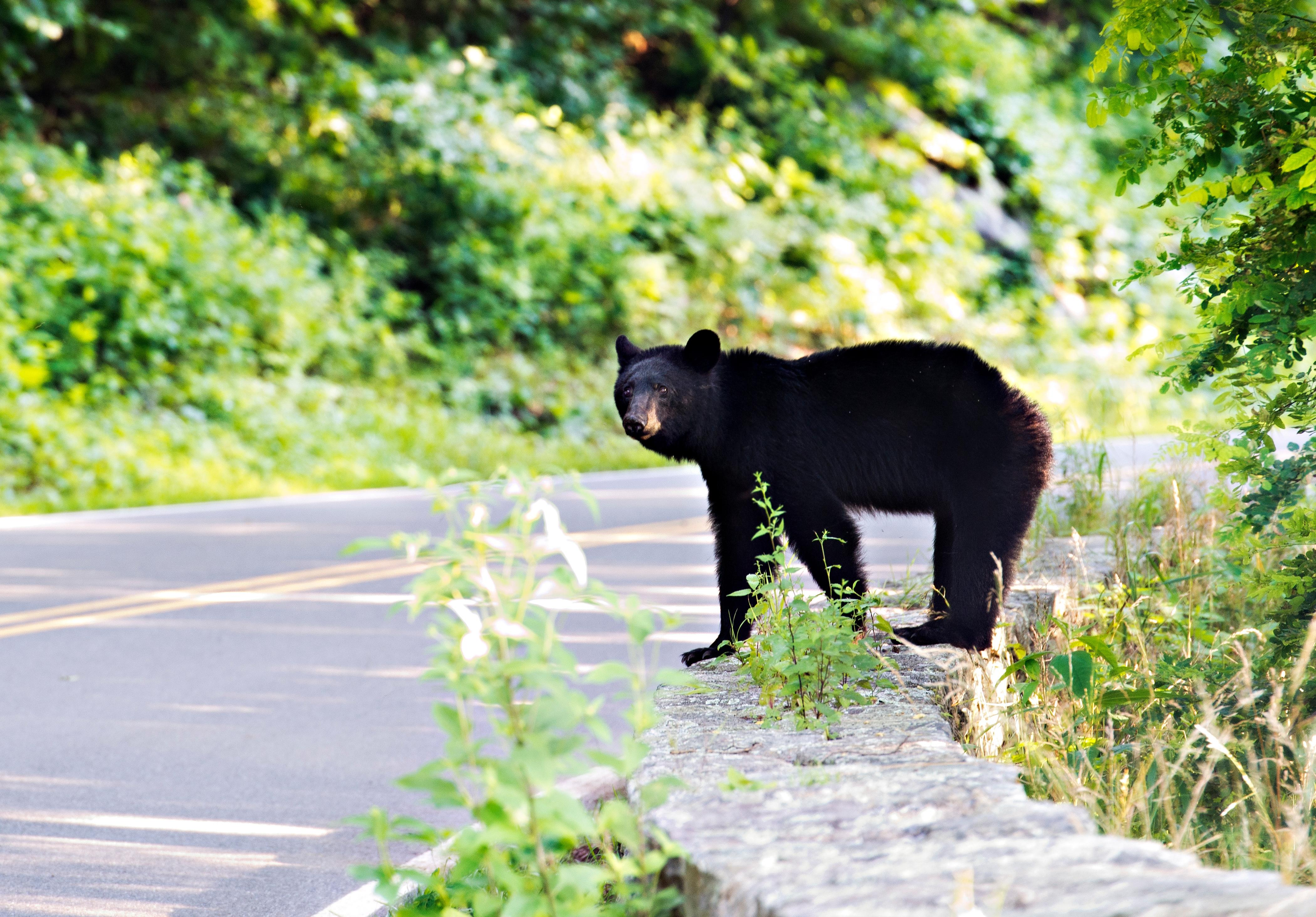 There are hundreds of black bears roaming the park. You might see one ambling across the road, gorging in the midst of a blackberry patch or loping through a campsite.{ }(File photo)
