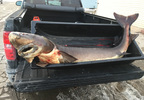 This 84.5-inch, 143.7-pound sturgeon speared Feb. 13, 2018, by Kyle Jenkins is the longest sturgeon ever recorded as having been speared on Lake Winnebago.
